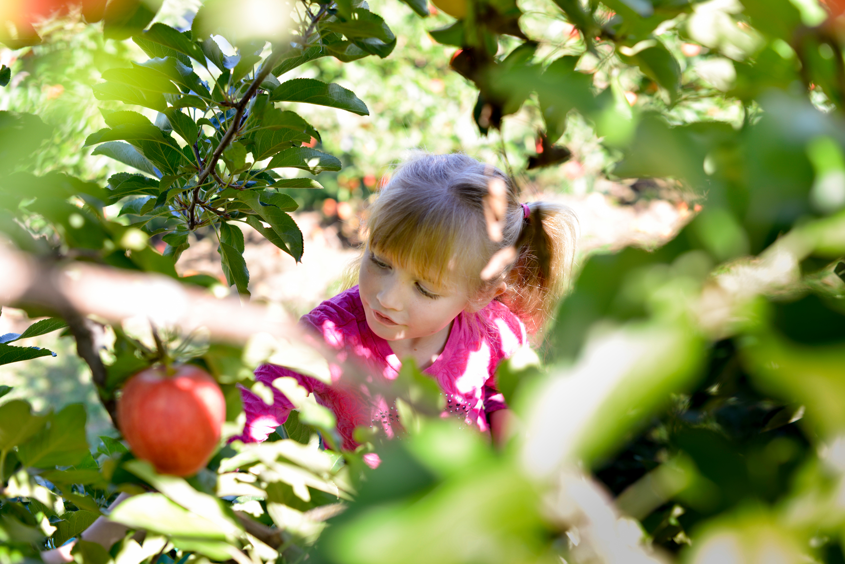 Young girl picking apple from tree