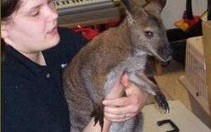 The Como zoo also brought a big wallaby. The kids loved to see this Australian animal in person.